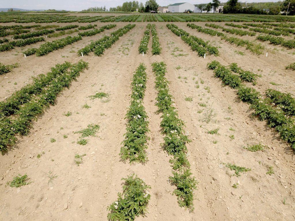 Untreated vs treated plots of potato plant
