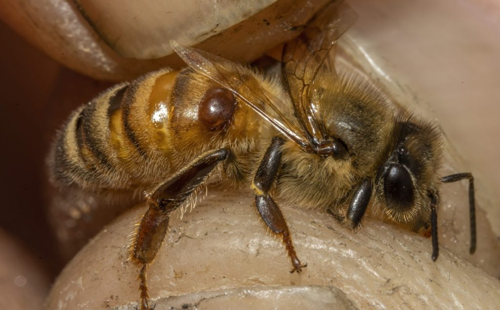 Honey Bee with parasitic Varroa Mite attached being held by Beekeeper Barry Hart, Barwick, Georgia.