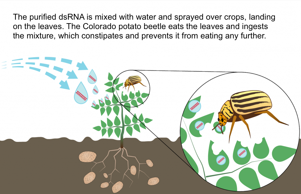 How the dsRNA mixture is delivered to the Colorado Potato Beetle